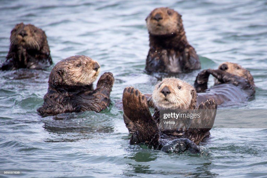 Otter Family : Foto de stock
