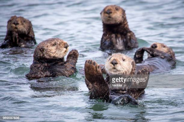 otter family - sea otter stock photos and pictures