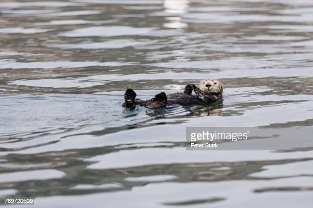 otter floating on river - lontra imagens e fotografias de stock