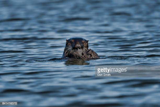 otter gaze - don smith stock pictures, royalty-free photos & images