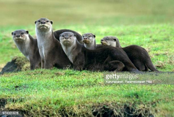 otter group_p.karunakaran - sea otter stock photos and pictures