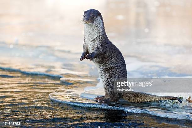 Otter In The Evening
