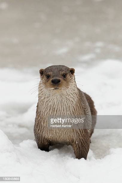 Otter (Lutra lutra) in winter