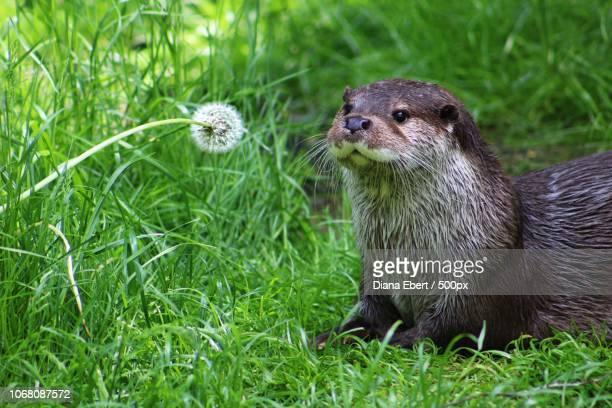 otter looking at dandelion clock - lontra imagens e fotografias de stock