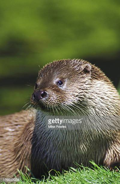 Otter, Lutra lutra, head and shoulders, Norfolk, UK