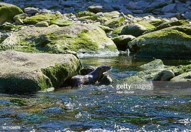Otter on the East Lyn River, Lynton