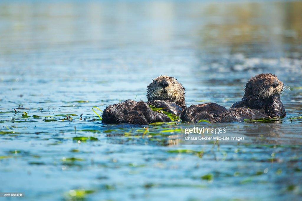 Otter Pals : Stock Photo
