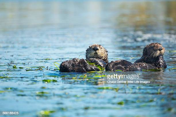 otter pals - sea otter stock photos and pictures