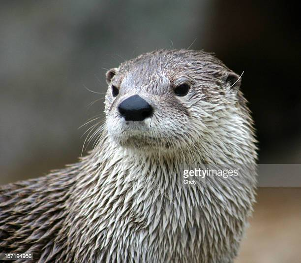 otter - otter stock photos and pictures