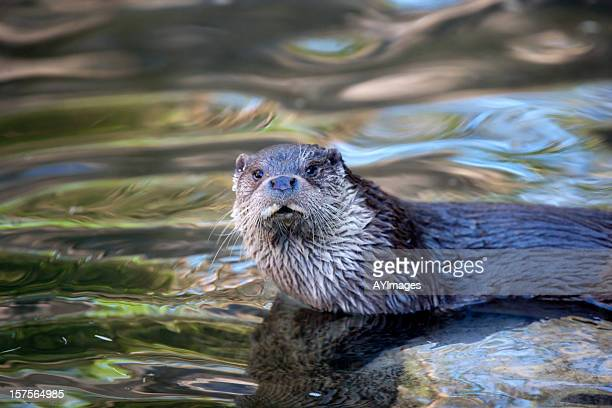 Otter (L. lutra)