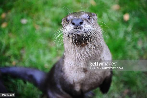 otter - lontra imagens e fotografias de stock