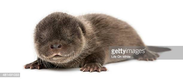 Otter pup lying down, eyes closed