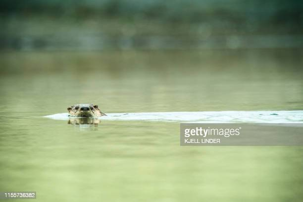 otter surfaces the water - olympic park stock pictures, royalty-free photos & images