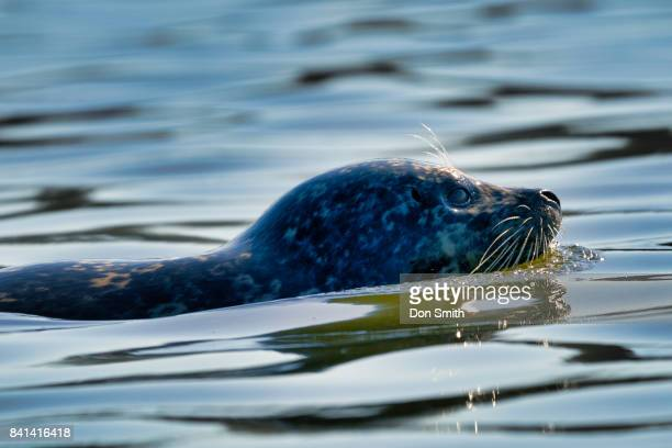 otter swim - don smith stock pictures, royalty-free photos & images