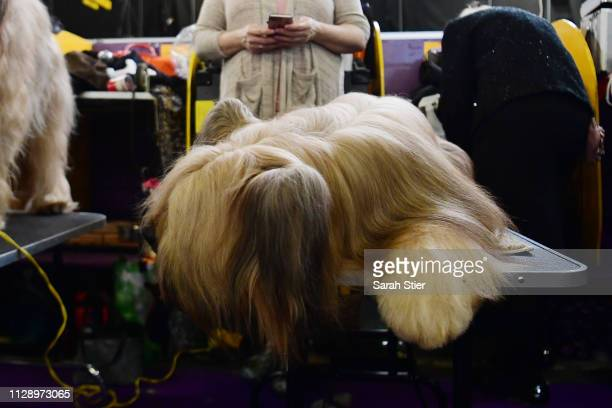 Otter the Briard rests during the 143rd Westminster Kennel Club Dog Show at Piers 92/94 on February 11 2019 in New York City