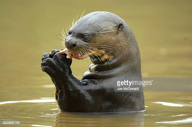 otter with fish - giant otter stock pictures, royalty-free photos & images