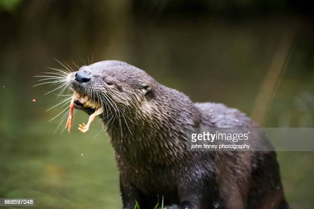 Otter with two chick legs hanging out of its mouth. Derbyshire. UK.