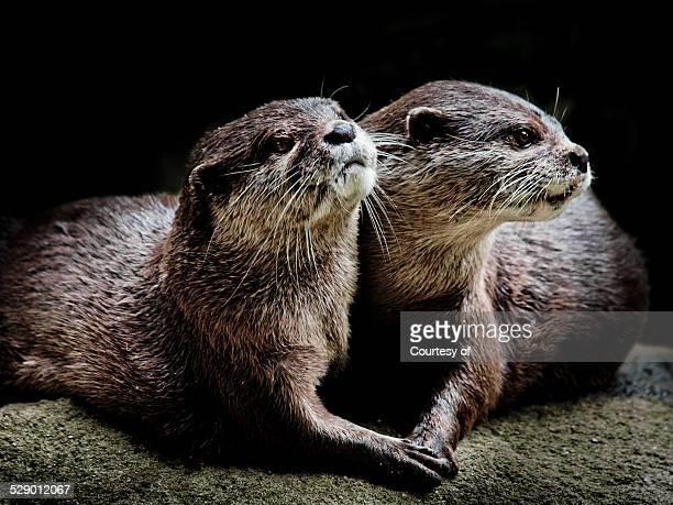 otters in love - lontra imagens e fotografias de stock