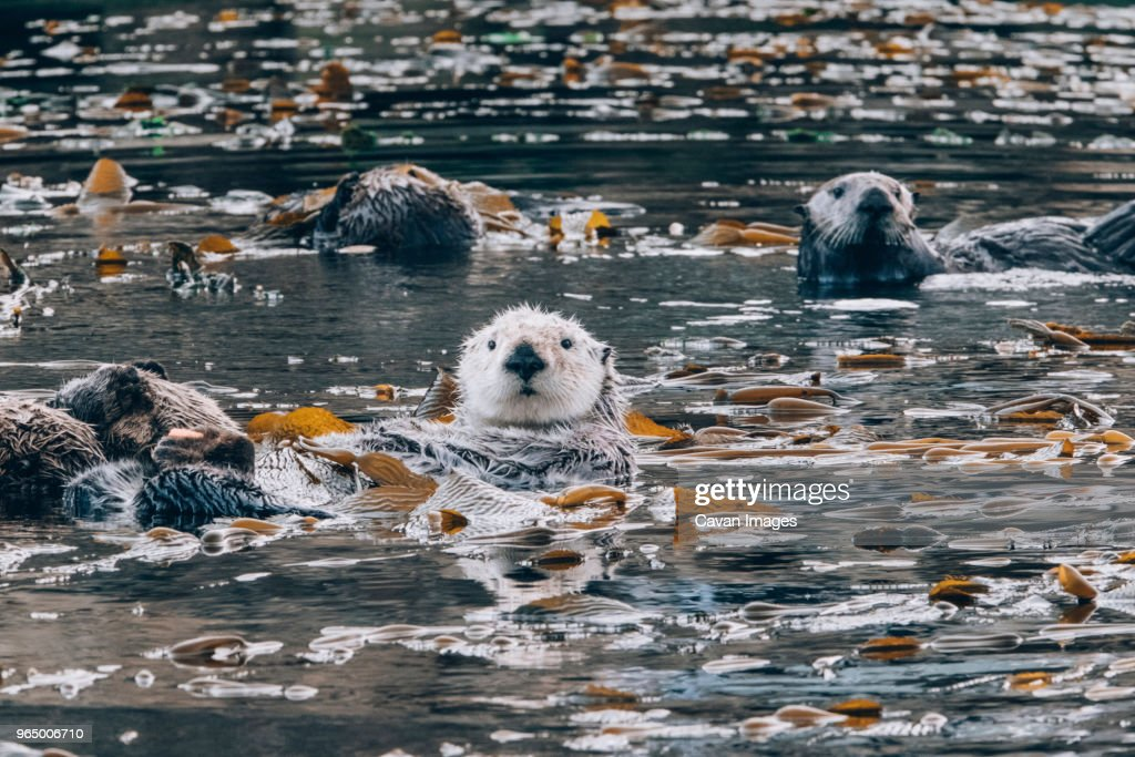 Otters in sea : Foto de stock
