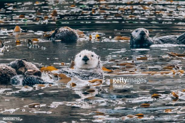 otters in sea - sea otter stock photos and pictures