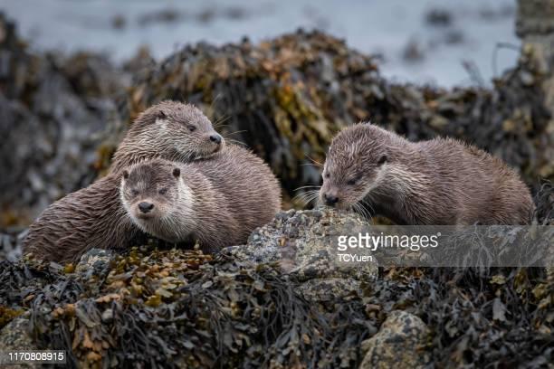 otters - lontra imagens e fotografias de stock