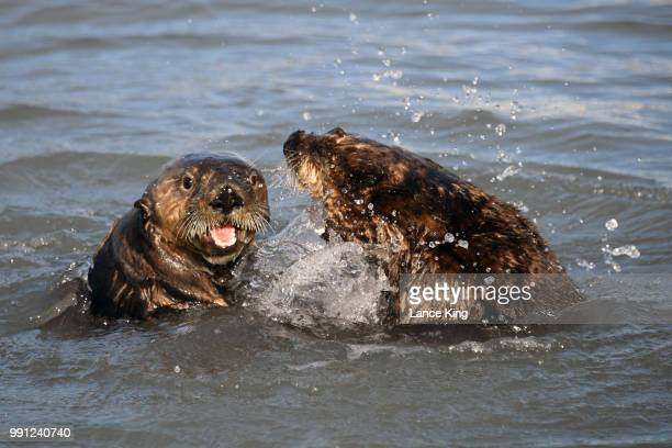 Otters play in the Seward Boat Harbor on July 3 2018 in Seward Alaska The Mount Marathon Race is held every year on July 4th and the approximate race...