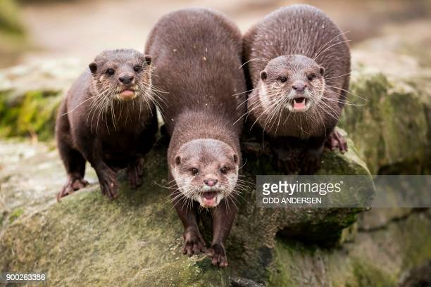 Otters squeak at visitors from their enclosure at the Berlin Zoo on January 1 2018 Tourists and locals flocked to the zoo in the German capital on...