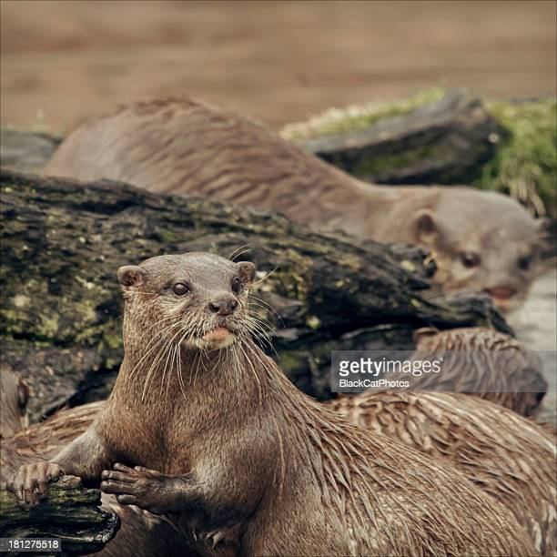 Otters with raindrops on their whiskers
