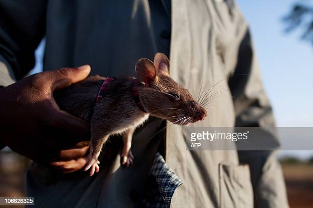 Otto Bakano A baby giant African pouch rat is is carried by a trainer moments before begining a training exercice at the grounds of a pioneering...