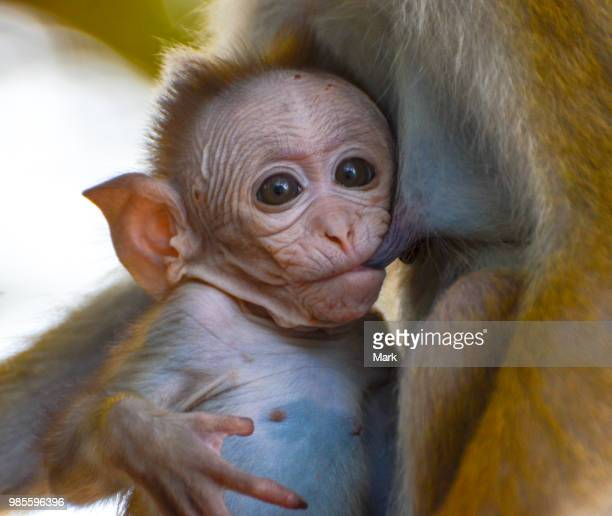 ouch! - woman breastfeeding animals stock photos and pictures
