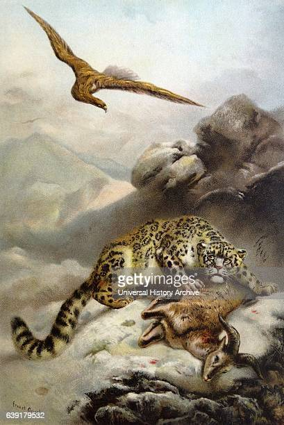 Ounce or Snow Leopard of Central Asia Chromolithograph from a painting by Ernest Henry Griset 1897