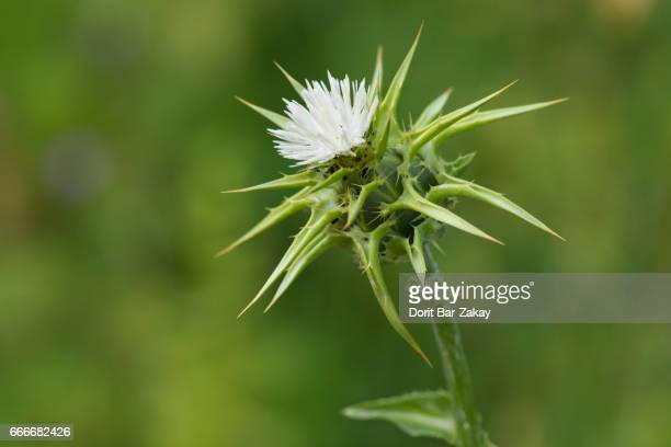 Our Lady's Thistle, Holy Thistle, Milk Thistle (Silybum marianum)