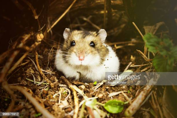 our pet - golden hamster stock pictures, royalty-free photos & images
