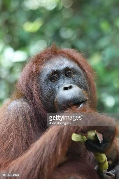 Ourangutan eating a banana