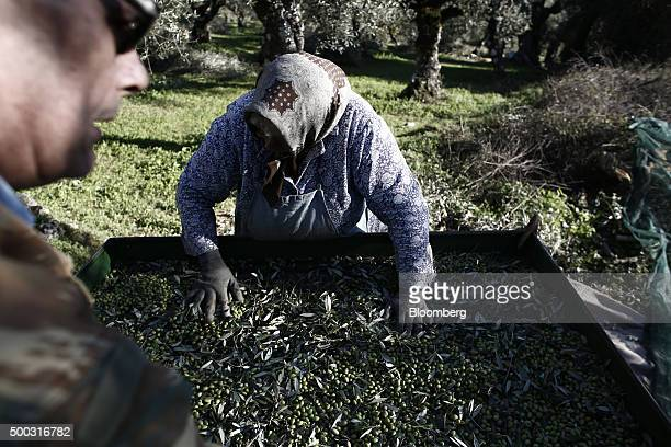Ourania Kaneli a farmer center inspects a container of freshly harvested olives during the harvest on farmland in the Kalamata district village of...
