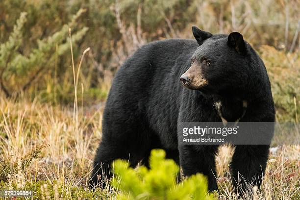 ours noir - black bear stock pictures, royalty-free photos & images