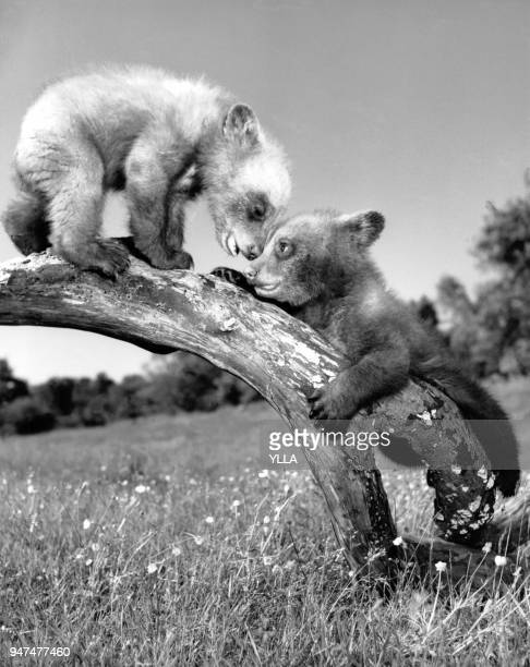 Oursons jouant perchés sur une branche