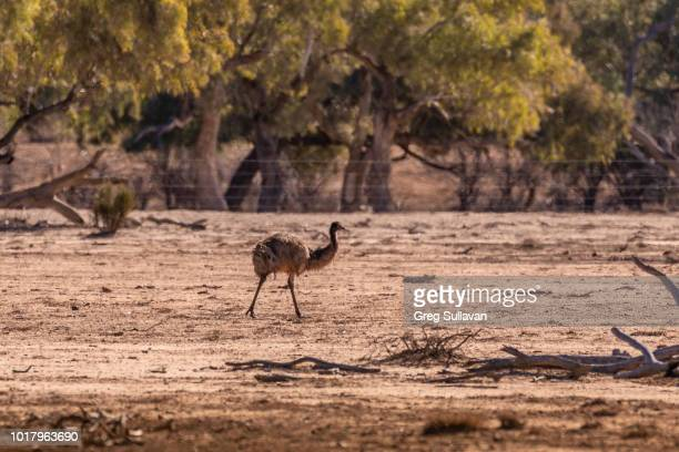 outback australia in drought - emu farming stock pictures, royalty-free photos & images