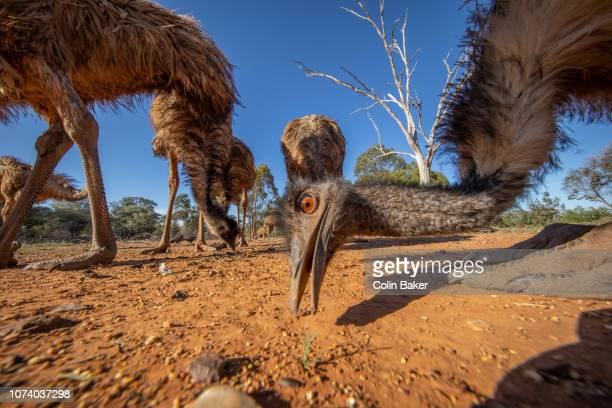 outback queensland - emu farming stock pictures, royalty-free photos & images