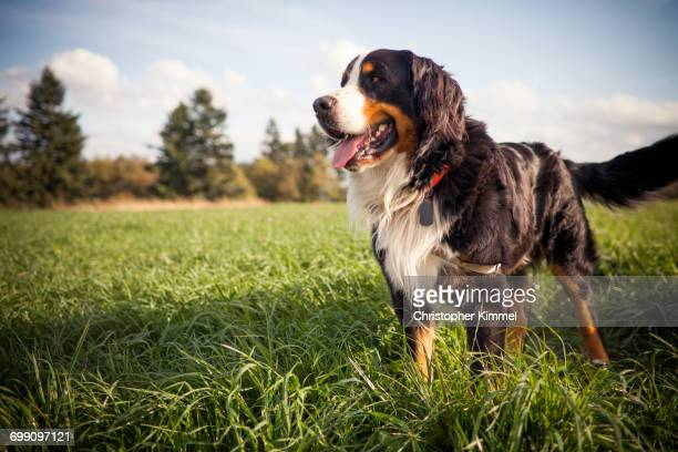 Outdoor portrait of a Bernese dog.