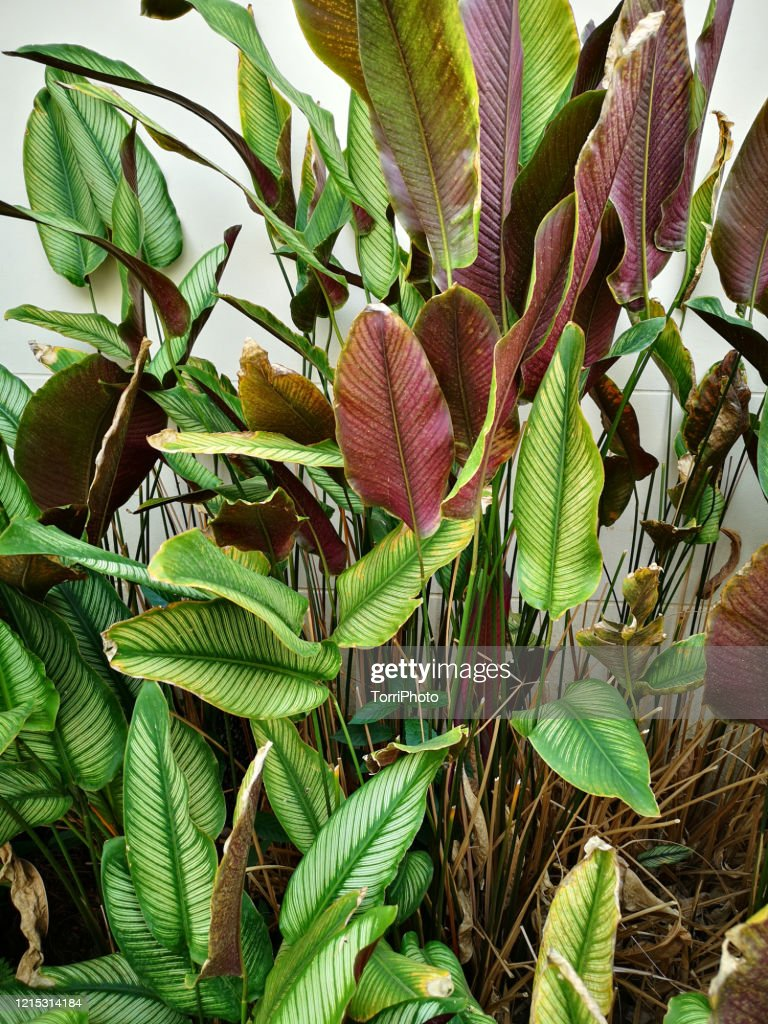 Outdoors Calathea Plant High Res Stock Photo Getty Images