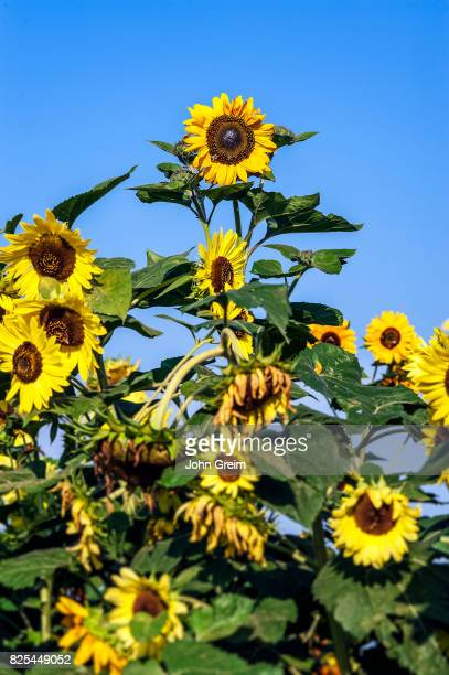 Outstanding sunflowers