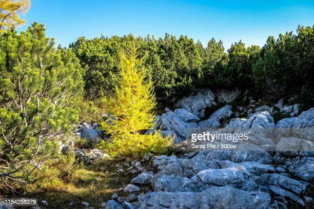 outstanding tree - forens stock pictures, royalty-free photos & images