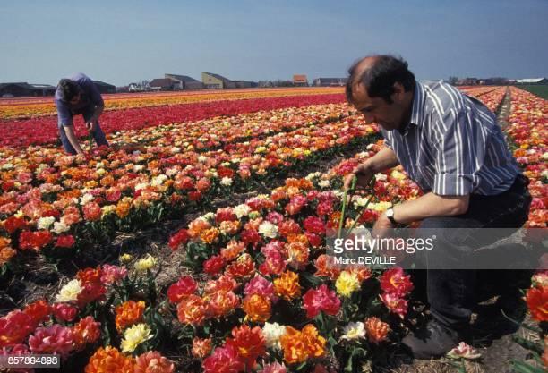 Ouvriers horticoles traitant des tulipes malades sur une exploitation en mai 1994 aux PaysBas