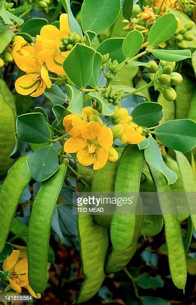 Oval Leaf Cassia ( Cassia oligophylla ) in flower in the desert region of Central Australia.