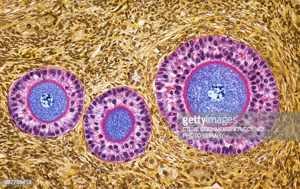 ovarian follicles, lm - nucleus stock pictures, royalty-free photos & images