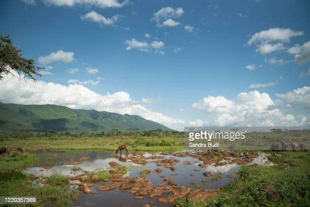 oveja bebiendo agua - 国立野生生物保護区 ストックフォトと画像