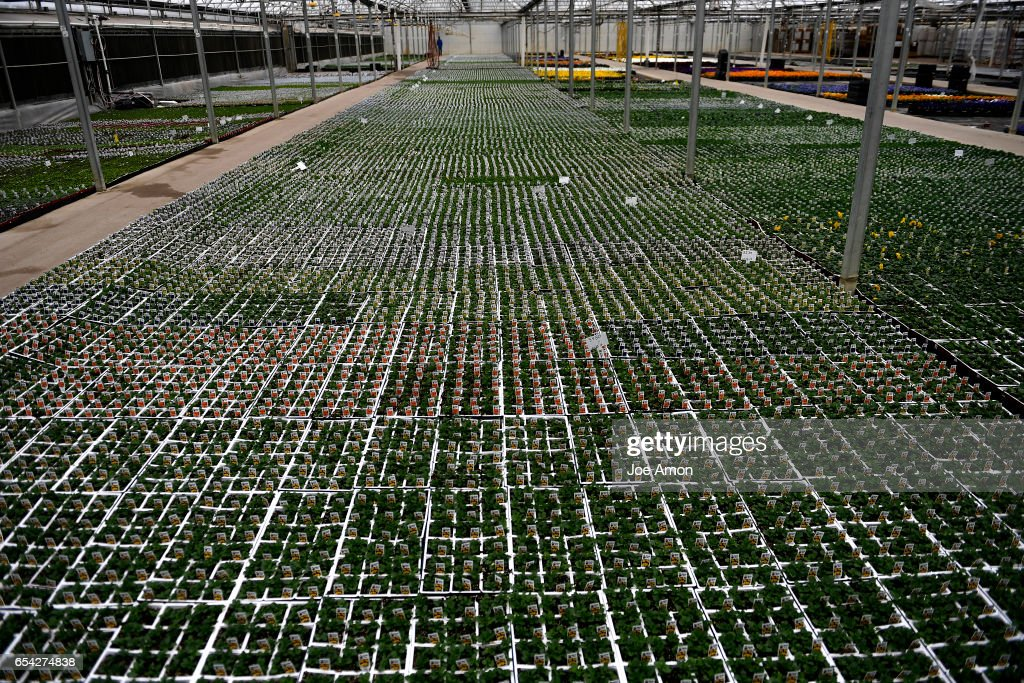 Over 180,000 Thousand Pansies In Just This Row Growing At Hardy Boy Plants/Welby  Gardens