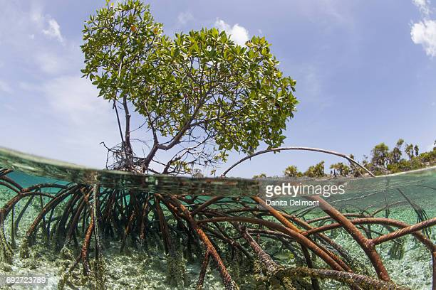 Over and under water photograph of mangrove tree in clear tropical waters with blue sky in background near Staniel Cay, Exuma, Bahamas