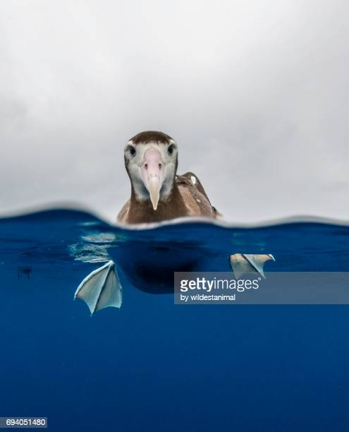 Over and underwater view of a brown headed albatross resting on the water's surface.